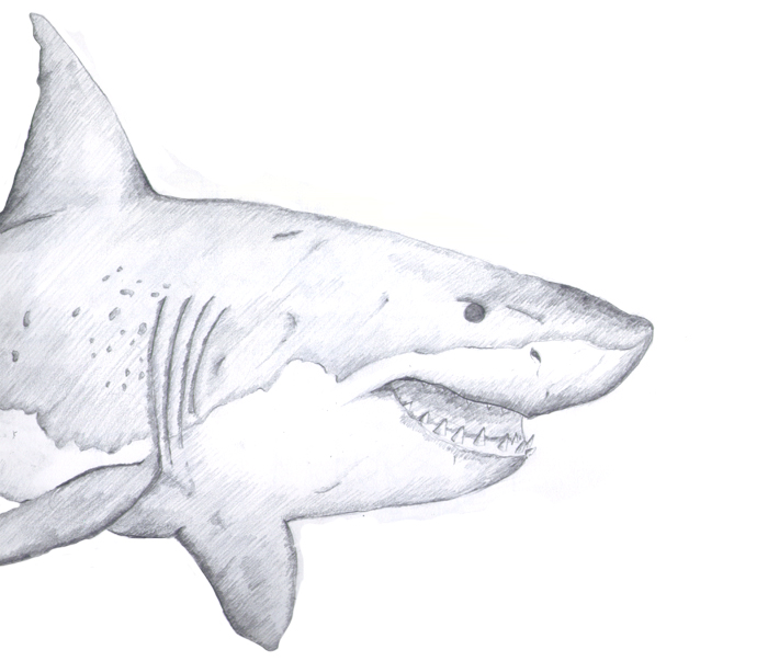 Great White Shark Pencil Drawing